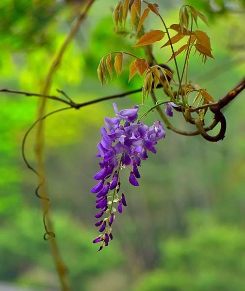 紫藤--19274.JPG