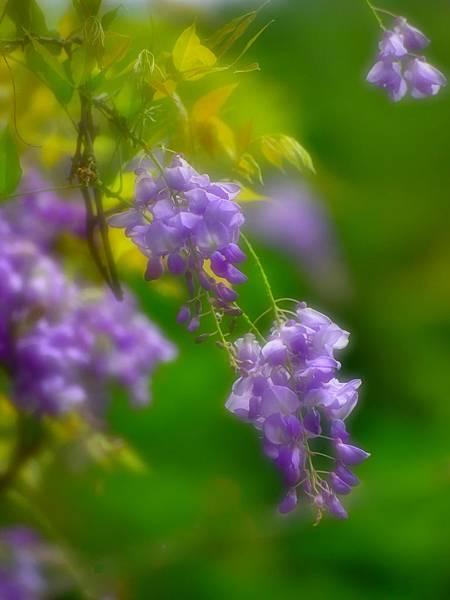 紫藤--19302--01.JPG