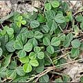 小葉栝根的植株