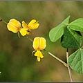 小葉栝根的花