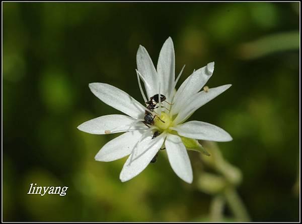 疏花繁縷 (7).JPG