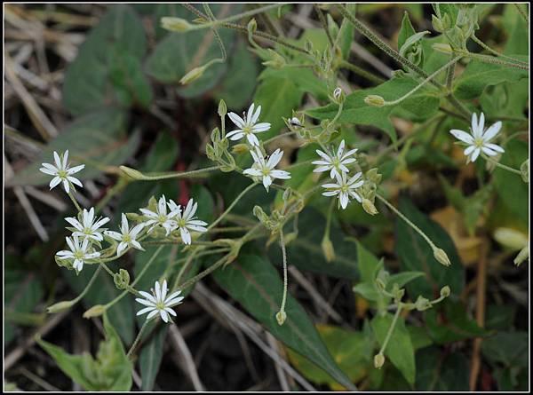 疏花繁縷植株