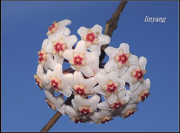 毬蘭20070413 (14)_調整大小.JPG