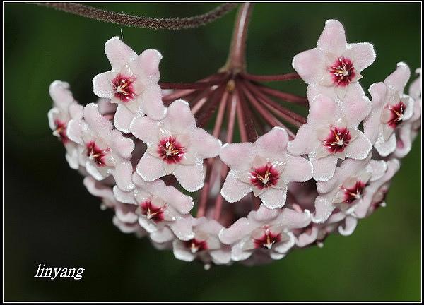 毬蘭20070413 (21)_調整大小.JPG