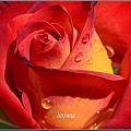 玫瑰 (2)_調整大小.JPG