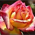 玫瑰 (3)_調整大小.JPG