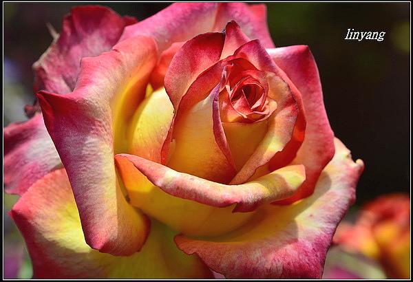 玫瑰 (6)_調整大小.JPG
