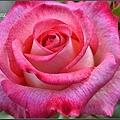 玫瑰 (8)_調整大小.JPG