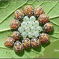 黃斑椿象若蟲 (8)_調整大小.jpg