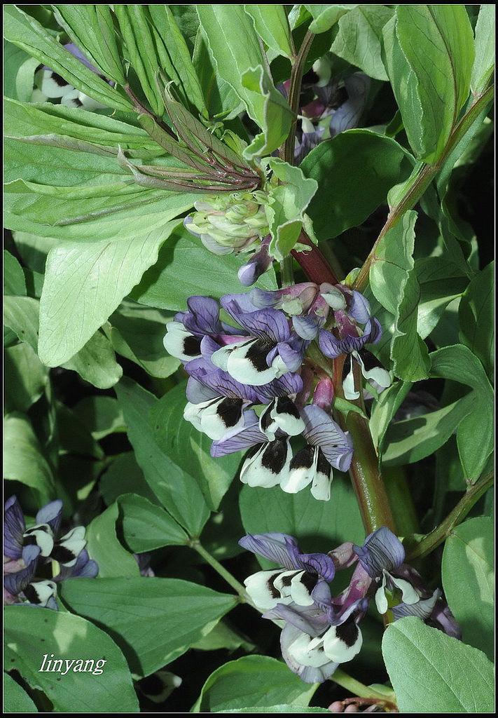 蠶豆紫花 (7)_調整大小.JPG