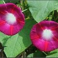 紫花牽牛 (1).jpg