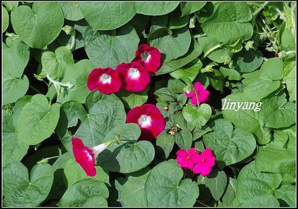 紫花牽牛.jpg