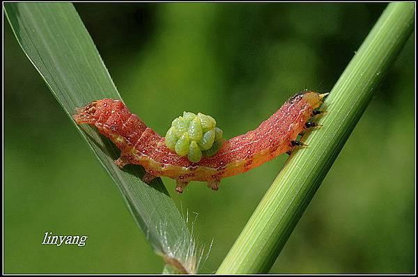 被寄生的蟲-11_調整大小.jpg