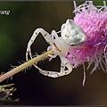 三角蟹蛛 (10).JPG