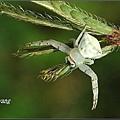 三角蟹蛛 (1).JPG