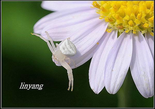 三角蟹蛛 (4).JPG