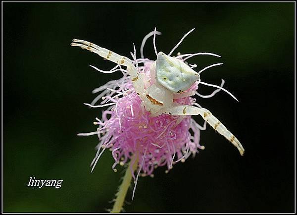 三角蟹蛛 (9).JPG