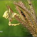 三角蟹蛛 (8).JPG