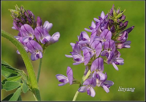 紫花苜蓿201040131 (59)_調整大小.JPG
