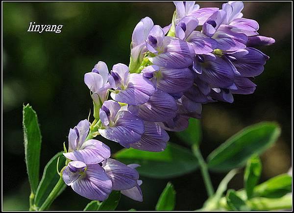 紫花苜蓿20140131 (24)_調整大小.JPG