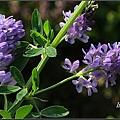 紫花苜蓿20140131 (27)_調整大小.JPG
