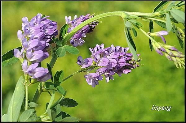 紫花苜蓿20140131 (46)_調整大小.JPG
