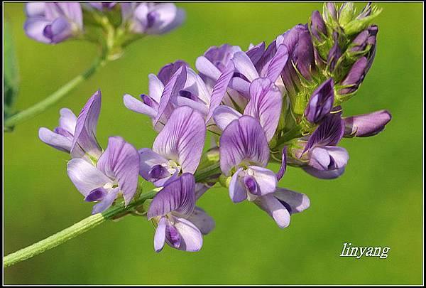 紫花苜蓿20140131 (48)_調整大小.JPG