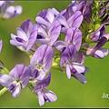 紫花苜蓿20140131 (65)_調整大小.JPG