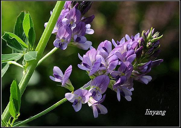 紫花苜蓿20140202 (3)_調整大小.JPG