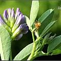 紫花苜蓿20140202 (12)_調整大小.JPG