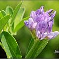 紫花苜蓿20140202 (13)_調整大小.JPG
