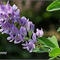 紫花苜蓿20140202 (16)_調整大小.JPG