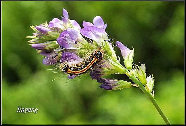 紫花苜蓿20140202 (10)_調整大小