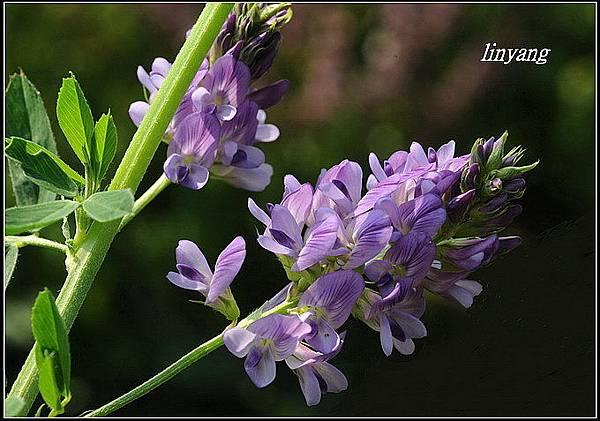 紫花苜蓿20140202 (5)_調整大小