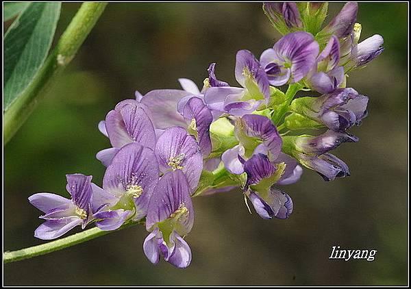 紫花苜蓿20140202 (1)_調整大小