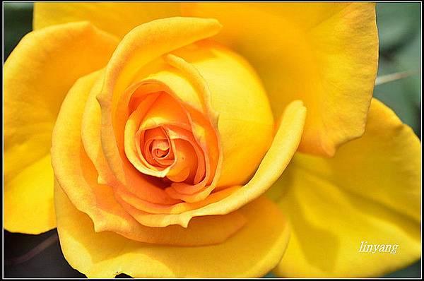 玫瑰 (2).JPG