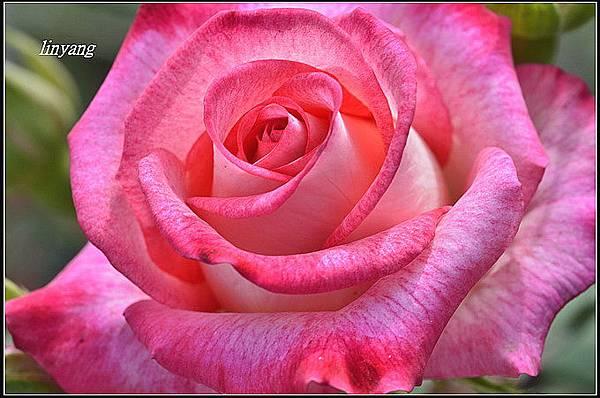 玫瑰 (3).JPG