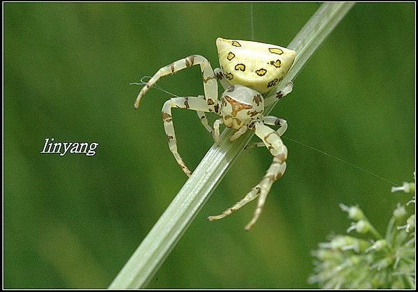 三角蟹蛛 (2)