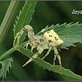 三角蟹蛛 (6)
