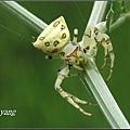 三角蟹蛛 (4)