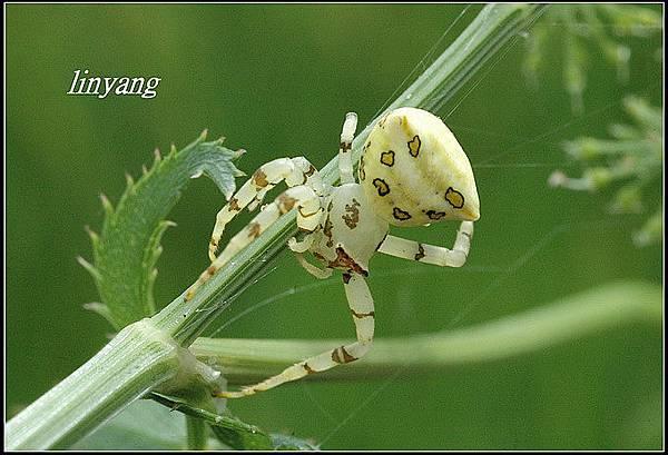 三角蟹蛛 (8)