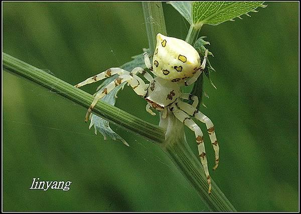 三角蟹蛛 (3)