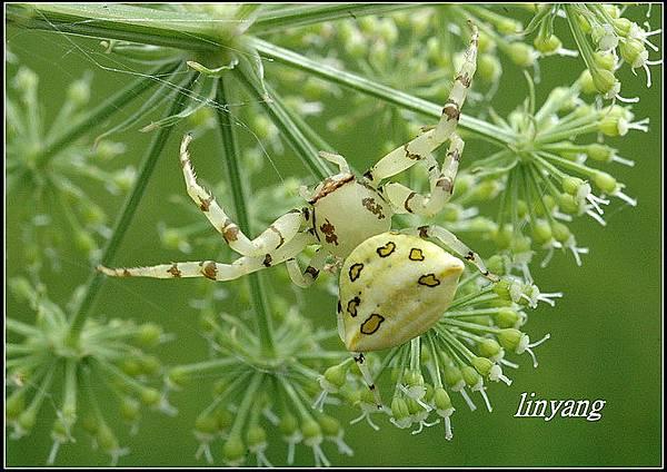 三角蟹蛛 (1)