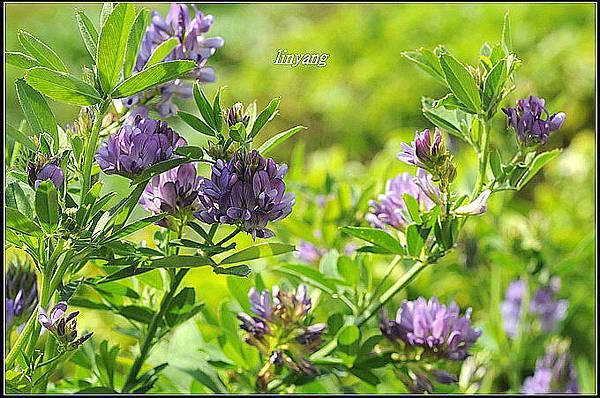 紫花苜蓿 (6)