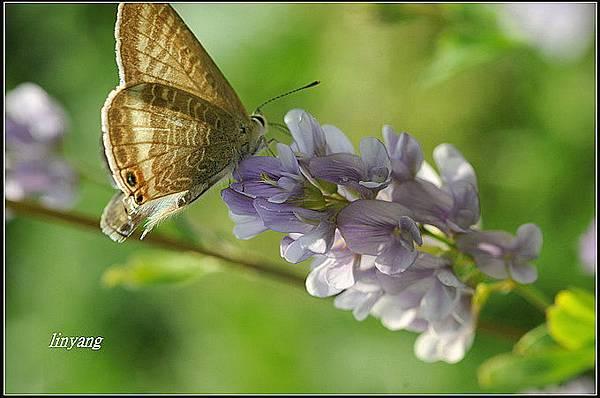 紫花苜蓿 (3)