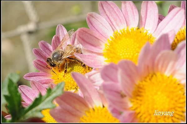 小蜜蜂 (26)_調整大小.JPG