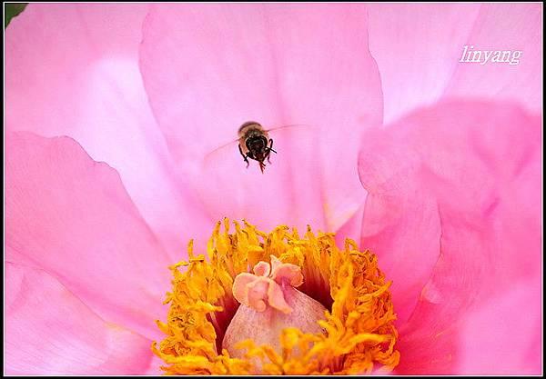 小蜜蜂 (28)_調整大小.JPG