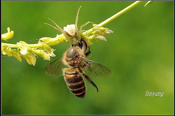 小蜜蜂 (33).jpg