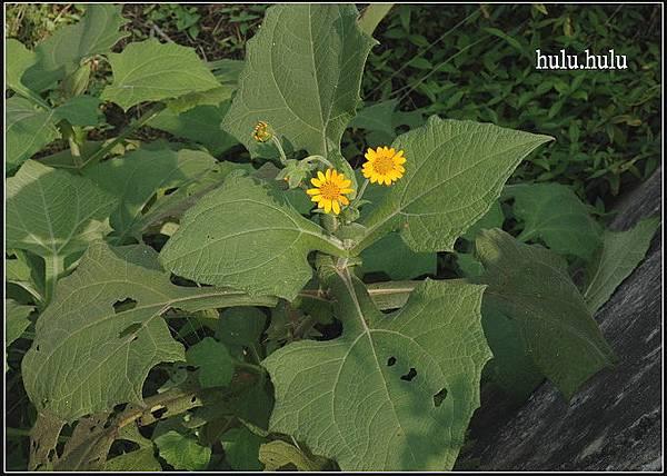 雪蓮薯(20061112)08_調整大小.JPG