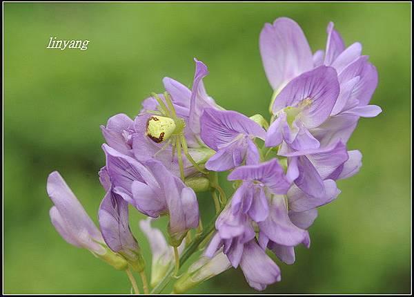 紫花苜蓿 (4)